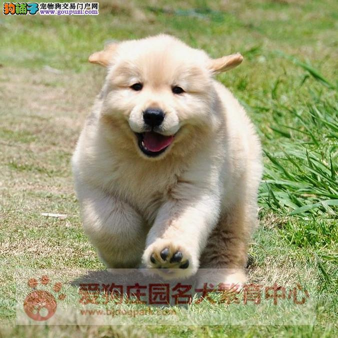 高端冠军级赛级金毛幼犬哪里有卖,纯种健康宝宝