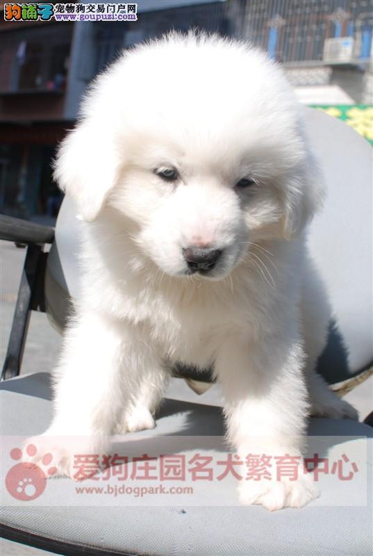 专业犬舍出售大白熊,纯种健康品质保证