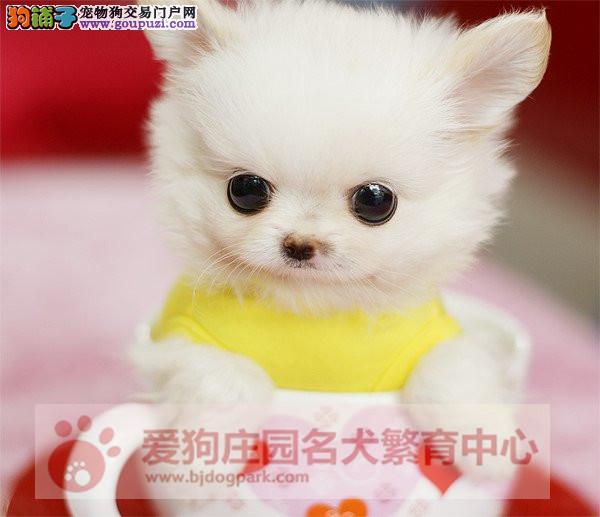 茶杯犬犬舍 出售顶级韩版小体茶杯犬泰迪、博美