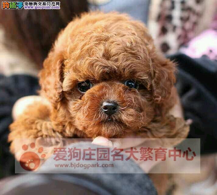 北京最大的泰迪犬基地 完美售后 质量三包 可送货上门3