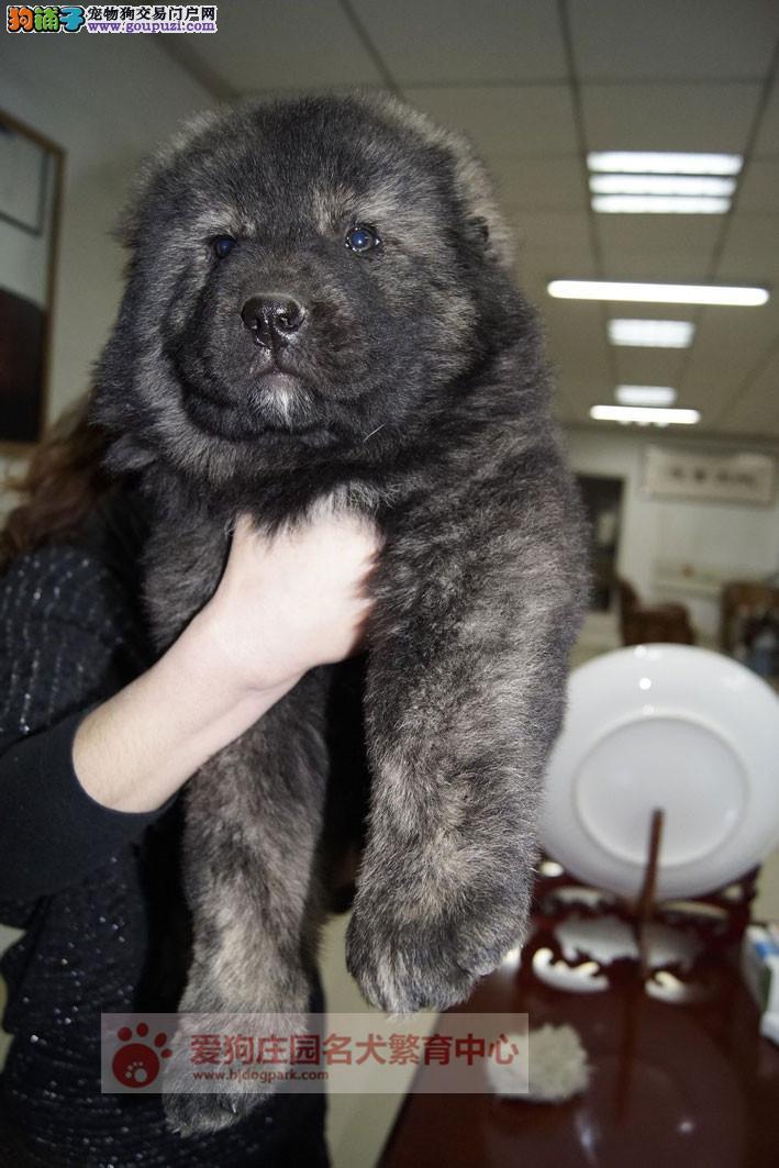 专业犬舍繁殖高加索幼犬出售中,保证健康纯种