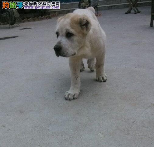 赛级品相中亚牧羊犬幼犬低价出售终身售后协议3