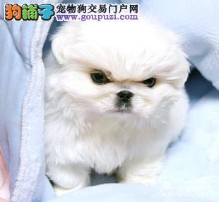 国宝宠物级别宠物京巴犬纯种幼犬出售中
