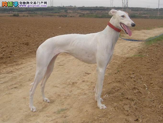 吉安市出售格力犬幼犬 全国包邮 可上门挑选 终身售后