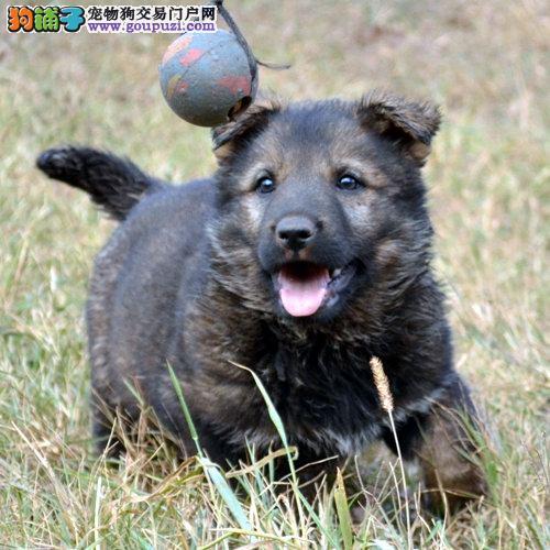海口本地出售高品质昆明犬宝宝品质保障可全国送货