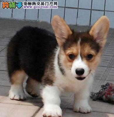 荆州售小短腿威尔士柯基犬幼犬围脖全通血统纯正上门看