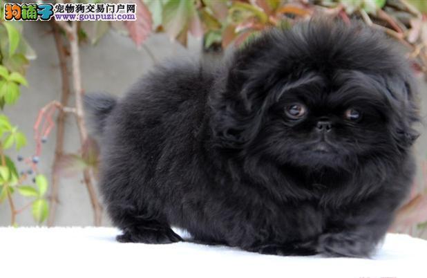 精品京巴狗幼犬出售 多只可选颜色齐全 可视频挑选