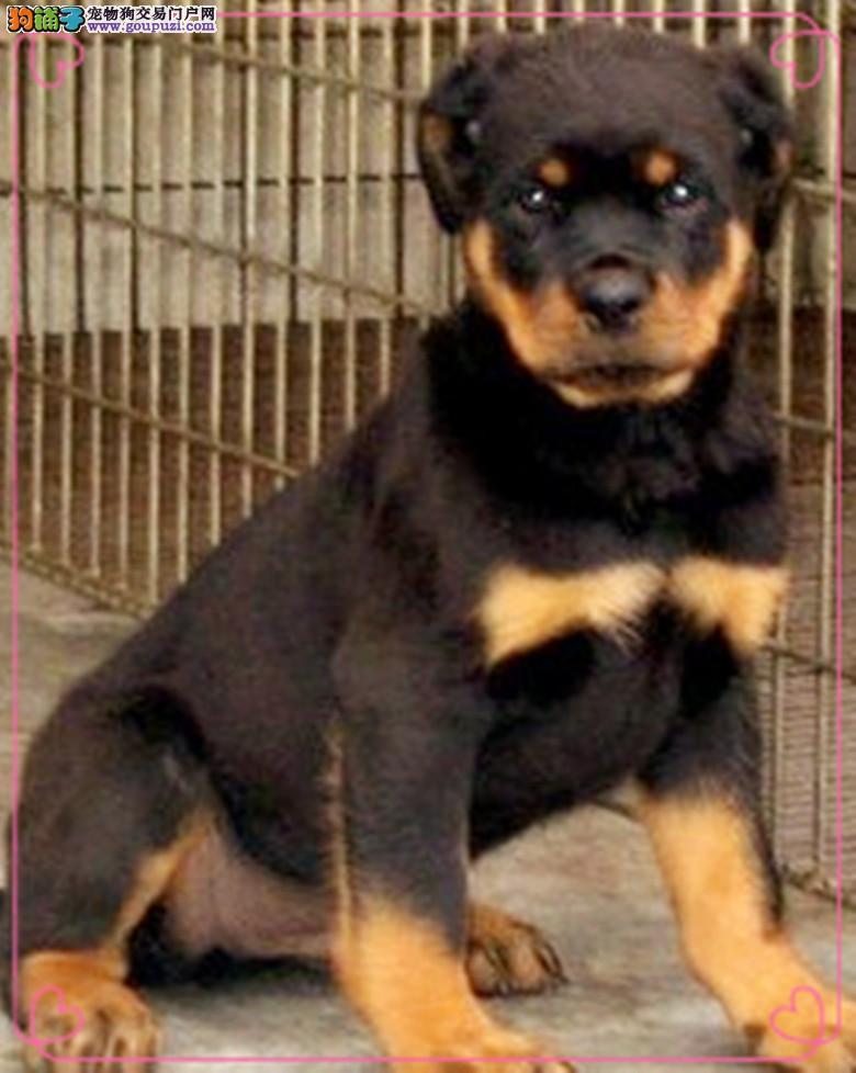 洛阳大型罗威纳出售精品大骨架喜欢猛犬的朋友看过来