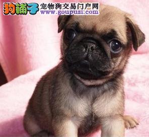 憨厚老实 纯种优惠的巴哥犬签订协议阳泉出售