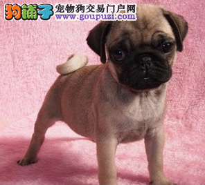 最大的精品赛级巴哥犬出售基地 多只挑选签协议送用品
