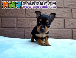 哈尔滨大型犬舍低价热卖极品小鹿犬签订保障协议