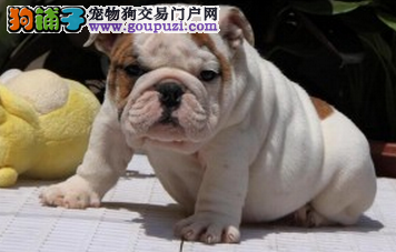 上海纯种的奶油英国斗牛犬低价出售可上门选购 包健康