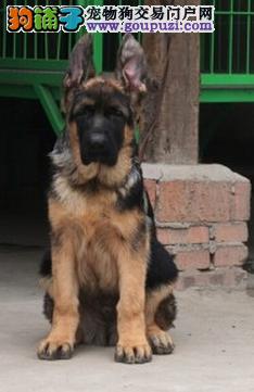 纯种健康狼狗幼犬出售 质量三包 协议质保 可视频看狗