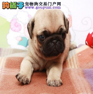 郑州实体店低价促销赛级巴哥犬幼犬包售后包退换