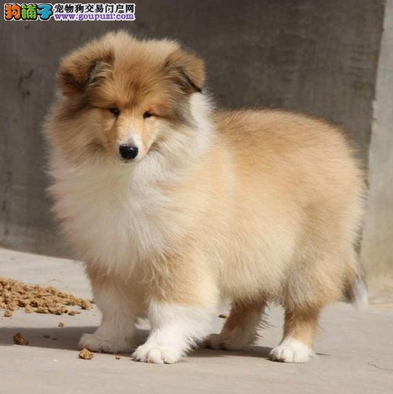 怎么看苏牧犬是不是纯种,如何挑选苏牧犬