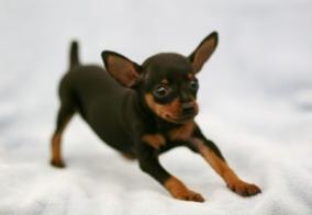 长腿小健将,下鹿犬宝宝,大爱小长腿!!~图片