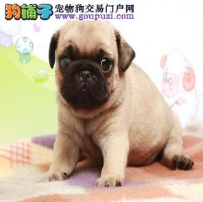 颜色全品相佳的巴哥犬纯种宝宝热卖中签订终身协议
