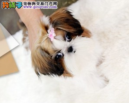 潍坊宠物狗狗纯种幼犬西施犬出售 疫苗齐全健康保障