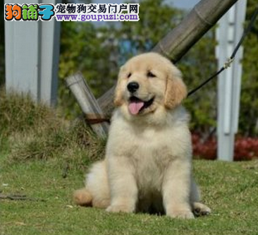 超低价出售金灿灿的广州金毛犬 喜欢的朋友不要错过