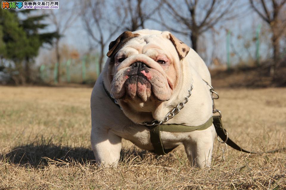 犬舍直营高品质英国斗牛犬签协议包健康可视频挑选
