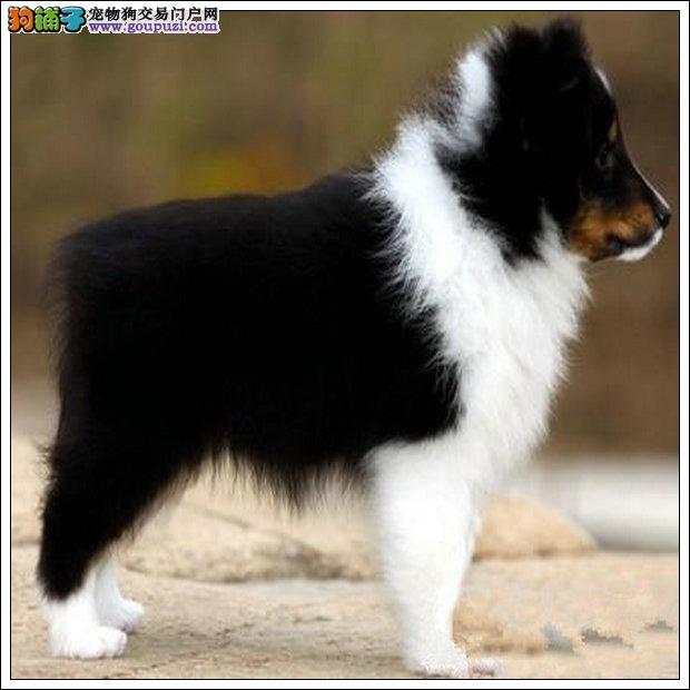 遵义专业繁殖基地售顶级双冠喜乐蒂牧羊犬幼犬健康质保