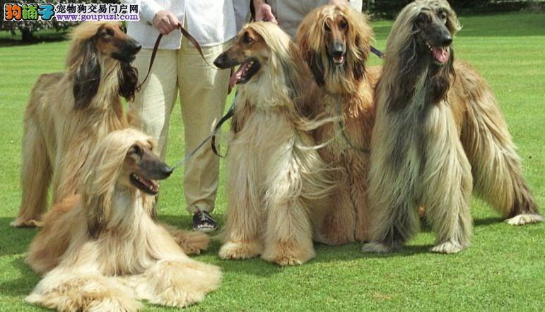 阿富汗猎犬热销中 纯种健康 可上门看狗 签售后协议