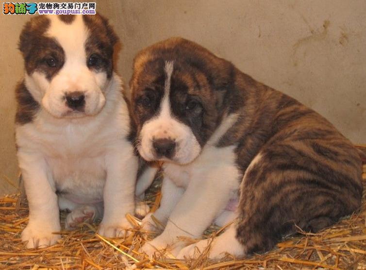 出售连云港中亚牧羊犬健康养殖疫苗齐全质量三包多窝可选3