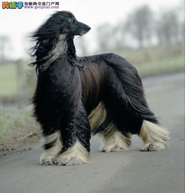 龙岩专业繁育阿富汗猎犬幼犬保纯保健康可看父母有保障