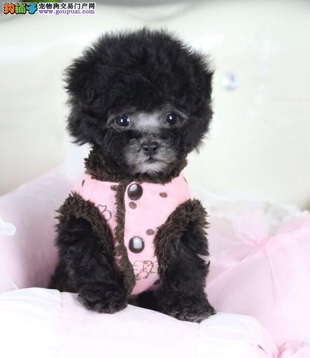 纯血统赛级茶杯泰迪犬上海售可爱萌宠小精灵泰迪熊宝宝