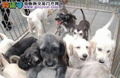 出售多种颜色纯种阿富汗猎犬幼犬签订保障协议
