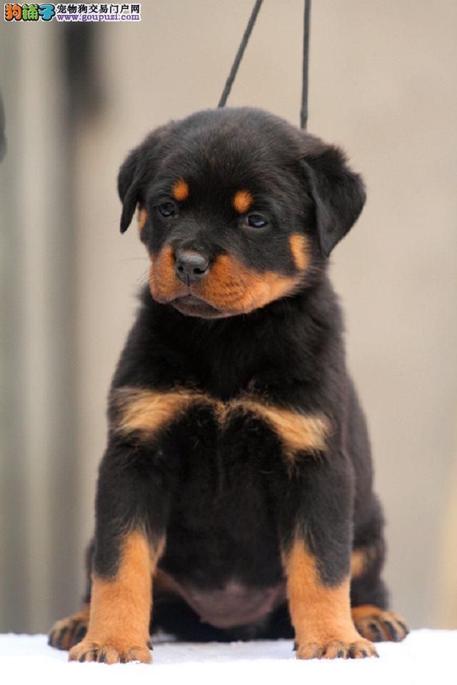 两个月的罗威纳狗狗便宜1000元啦