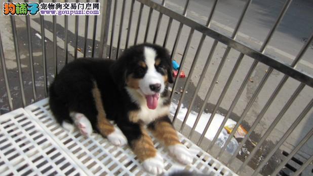 连云港市出售伯恩山犬 公母都有 免费饲养指导 带证书