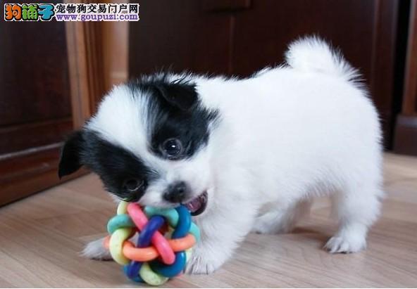 出售颜色齐全身体健康蝴蝶犬喜欢加微信可签署协议1