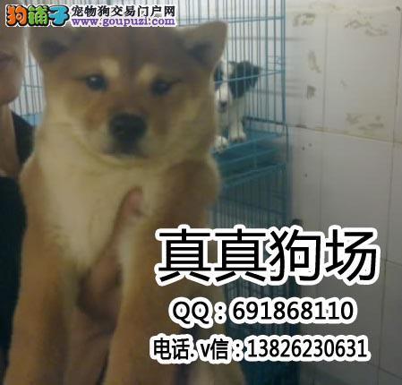 东莞哪里有买日本柴犬 东莞哪里买日本柴犬有保障