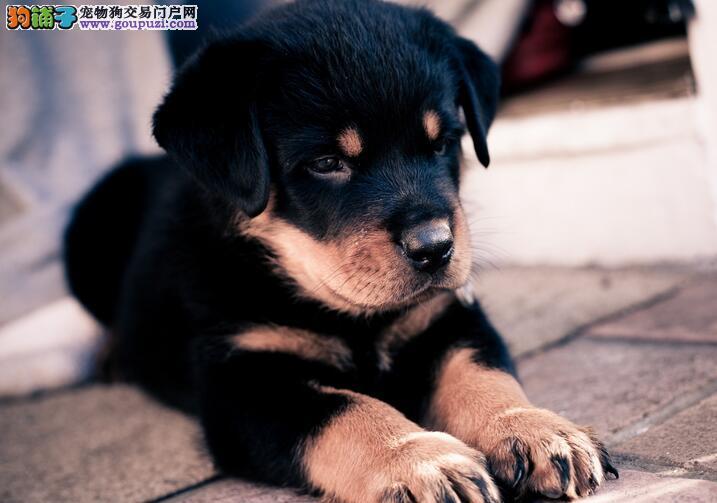 能看家护院的狗狗,罗威纳犬