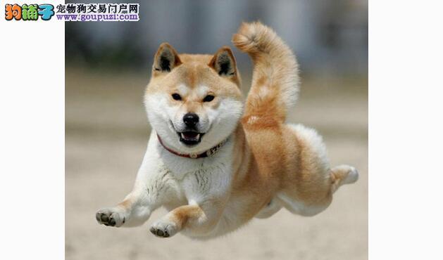 想要一只长寿能陪伴多年的狗狗,秋田犬可以考虑