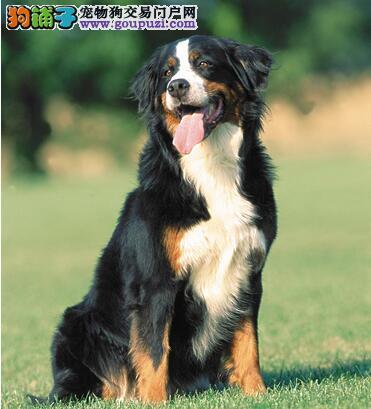 自信、勇敢、警惕的三色犬,伯恩山犬