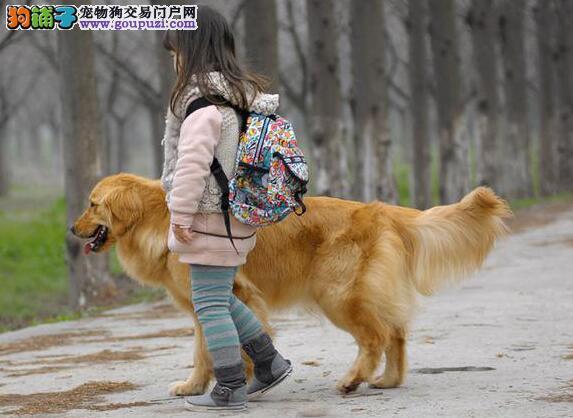 如果你喜欢护主的狗狗 金毛犬是最好的选择