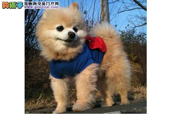 介绍英系博美犬体型特征及优势