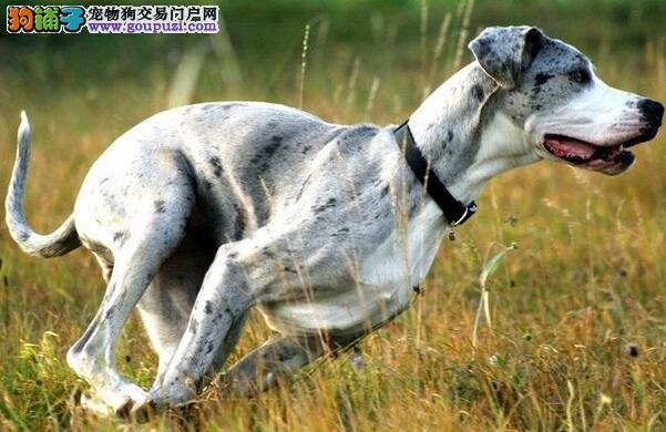 饲养一只脾气好、温柔体贴的犬,大丹犬是不错的选择