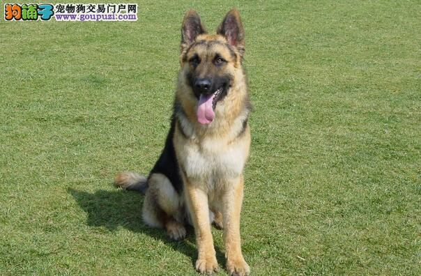 购买德国牧羊犬要注意狗狗年龄及有无疾病