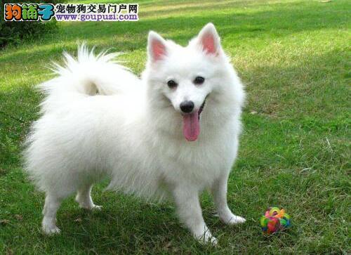 教你区分银狐犬和相似犬种萨摩耶的差异