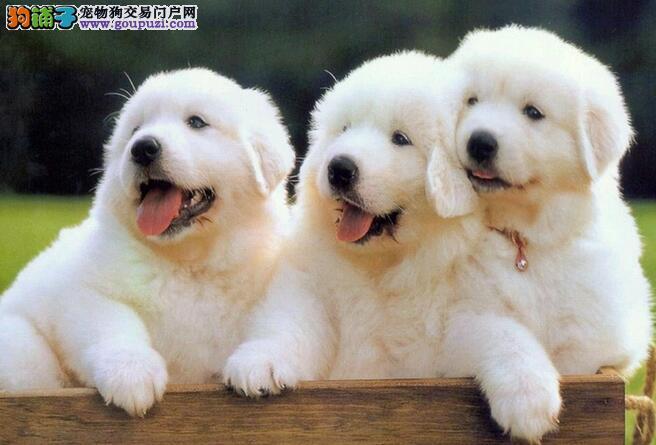 对大白熊犬的外形特征你了解多少