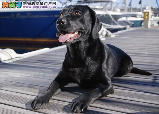 优质的拉布拉多犬性格特征有哪些