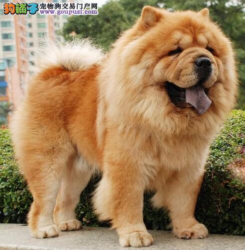 想要一只体型中等又聪明的狗狗松狮犬适合你