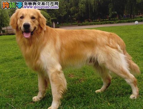 友善温和的金毛犬,最佳家庭伴侣犬