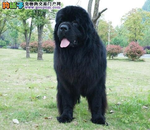 纽芬兰犬是否凶猛?纽芬兰性格解析