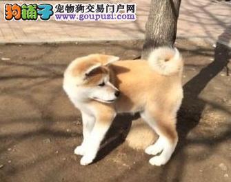 选购秋田犬,注意查看狗的相关证书
