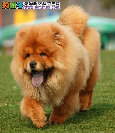 松狮犬选购特征及血统辨别