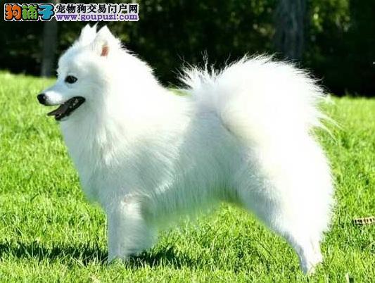 挑选银狐犬的方法,新手选购银狐犬必知